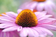 echinacea and elderberry for flu