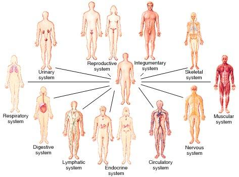 organ systems – roots of wellness ayurveda, Cephalic Vein